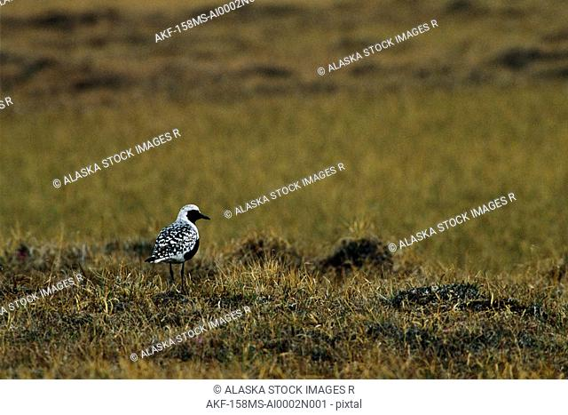 Black-billed Plover Prudhoe Bay Arctic Summer AK