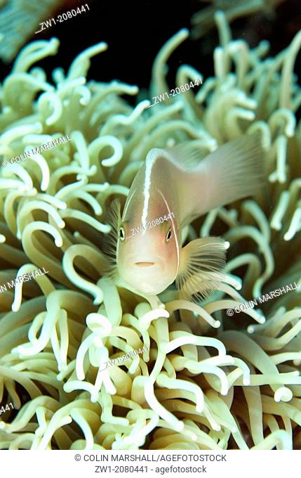 Pink Anemonefish (Amphiprion periderion) in Magnificent Sea Anemone (Heteractis magnifica) near Alor in Indonesia