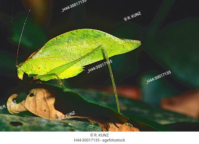 Leaf-mimic Katydid, Orophus tesselatus, Tettigoniidae, Katydid, insect, animal, Costa Rica