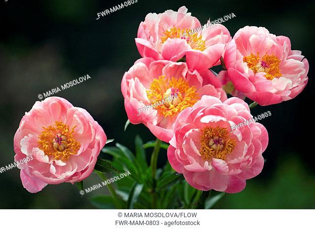 Paeonia lactiflora cultivar, Peony, Pink subject