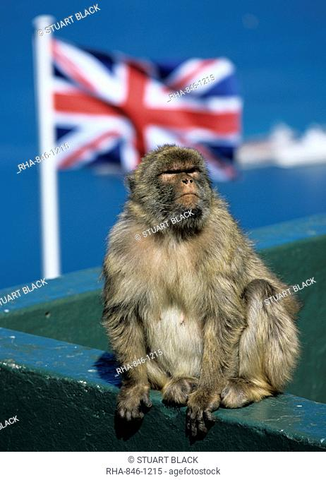 Barbary rock ape at the Top of the Rock, Gibraltar, British overseas territory, Europe