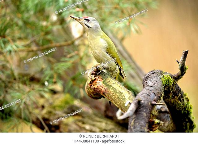 Ground woodpecker, earth woodpecker, grass woodpecker, green woodpecker, Picus viridis, woodpecker birds, Teilzieher, birds, wild animals, wild bird