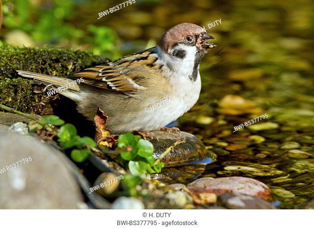 Eurasian tree sparrow (Passer montanus), drinking at a brookside, Germany, Mecklenburg-Western Pomerania