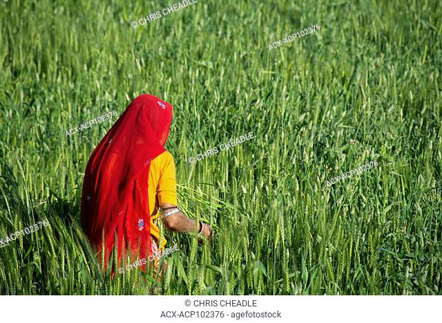 Older woman working in wheat fileds outside of Udaipur, Rajastan, India