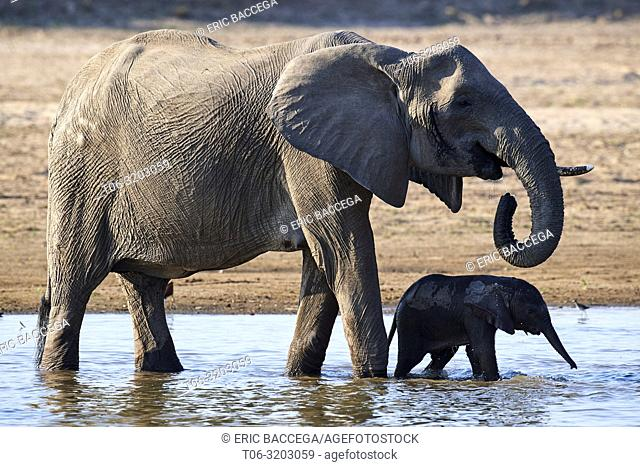 African elephant mother and calf drinking from Luangwa river (Loxodonta africana). South Luangwa National Park, Zambia