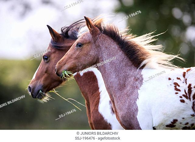 Lewitzer Pony. Skewbald mare and foal on a pasture. Germany