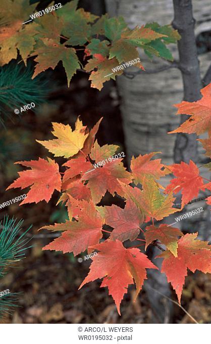 Sugar, Maple, in, autumn, New, Hampshire, USA, Acer, saccharum