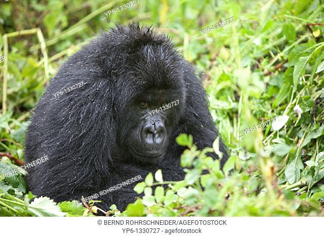 Mountain Gorilla, Gorilla beringei beringei, male sitting in vegetation, Volcanoes National Park, Rwanda
