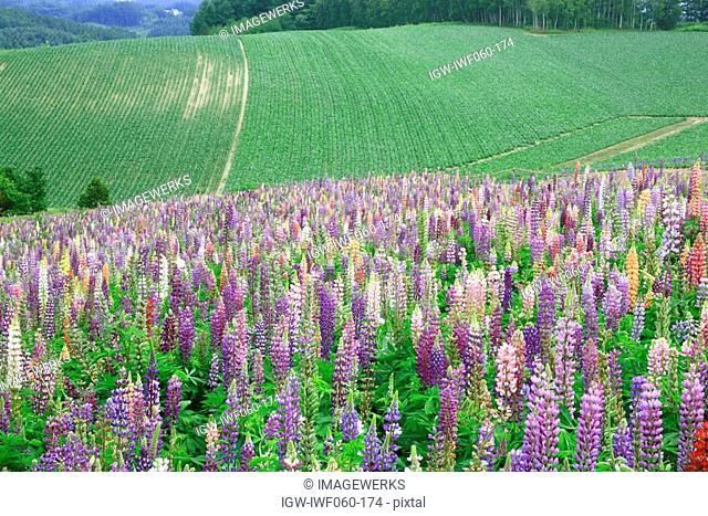 Japan, Hokkaido, Biei, Field of lupine in bloom