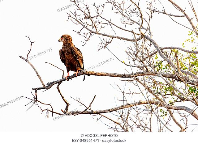 Bateleur eagle in South Africa on tree branch isolated over white