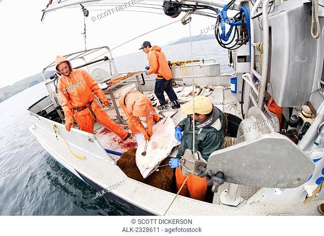 Gaffing halibut to bring aboard during commercial longline fishing, Southwest Alaska, summer