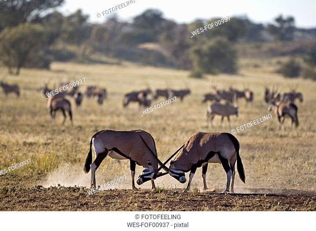 Africa, Namibia, Two gemsbok bulls Oryx Gazella sparring