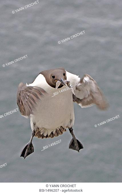 Common murre Common murre Uria aalge with the food it has just fished in the beak, Shetland Islands, Scotland. Uria aalge  Common murre  Guillemot  Alcid...