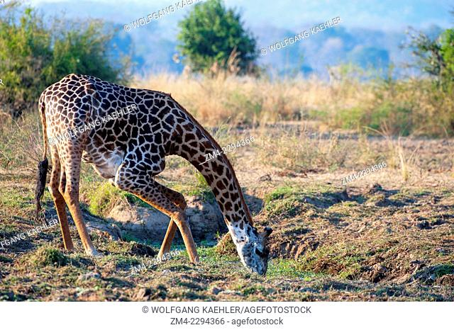 A Thornicroft's Giraffe (giraffa camelopardalis thornicrofti) is drinking from a waterhole in South Luangwa National Park in eastern Zambia