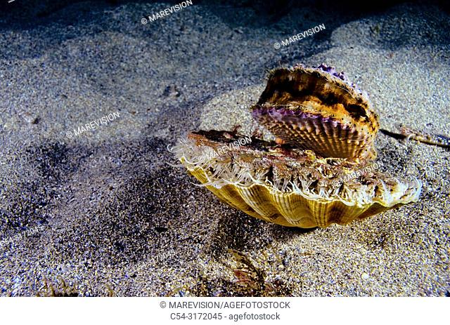 Variegated Scallop (Chlamys varia) over Great Scallop. Clam. Scallop (Pecten maximus). Eastern Atlantic. Galicia. Spain. Europe