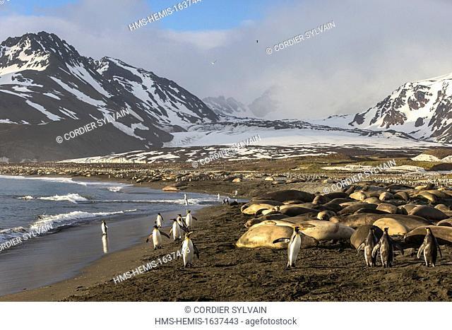 Antarctic, South Georgia Island, Andrews plains, Southern Elephant Seal (Mirounga leonina), mother and new born baby