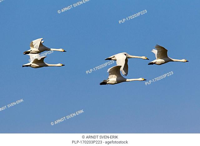 Tundra swans (Cygnus columbianus) / Bewick's swans (Cygnus bewickii) flock in flight against blue sky