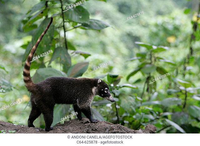 Coati (Nasua narica). Cloudy forest. Monteverde Reserve. Costa Rica
