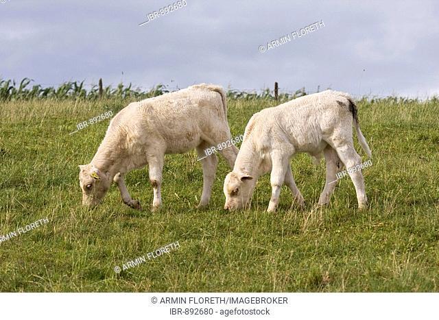 Two Charolais calves (Bos taurus) grazing in a meadow