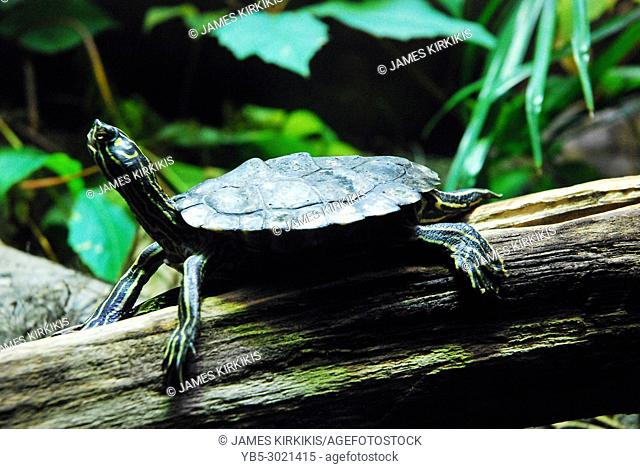 A Turtle Gazes Upward from his Log