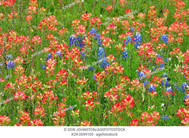 Roadside wildflowers featuring Texas paintbrush and bluebonnets, Llano County, Texas, USA