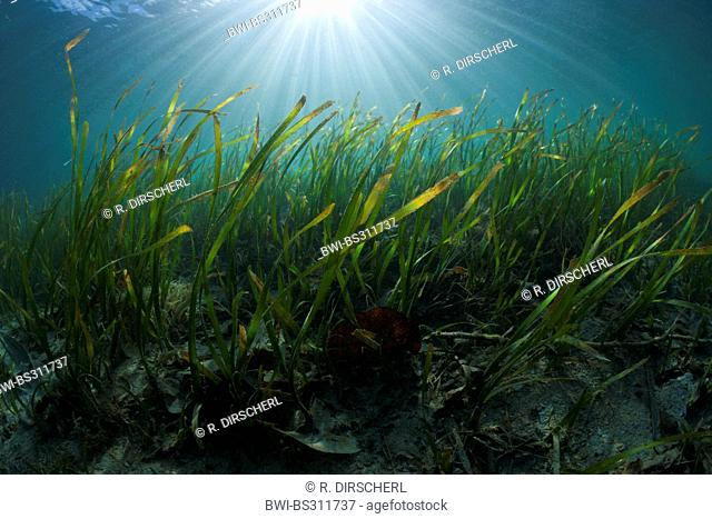 , Seagrass Meadows, Indonesia, Western New Guinea, Cenderawasih Bay