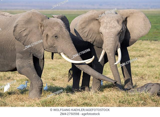 African elephants (Loxodonta africana) sniffing sleeping baby in Amboseli National Park in Kenya