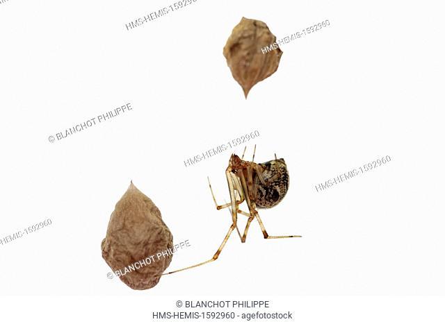 France, Araneae, Theridiidae, American house spider (Parasteatoda tepidariorum or Achaearanea tepidariorum), on its web protecting its cocoons