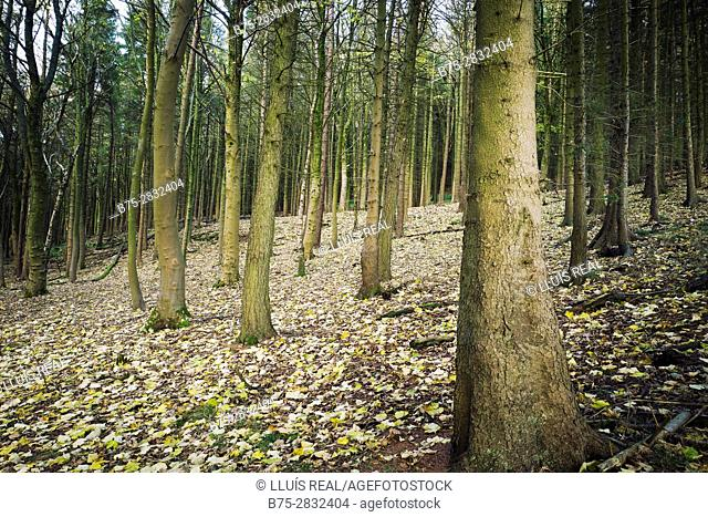 Fir tree trunks in the foreground in a forest. Kettlewell, Skipton, North Yorkshire, England, UK