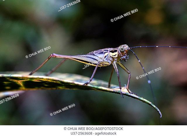 Cricket. Image taken at Kampung Skudup, Sarawak, Malaysia