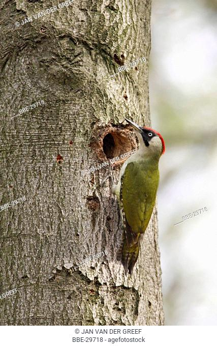 Green woodpecker (Picus viridis) at the nest hle