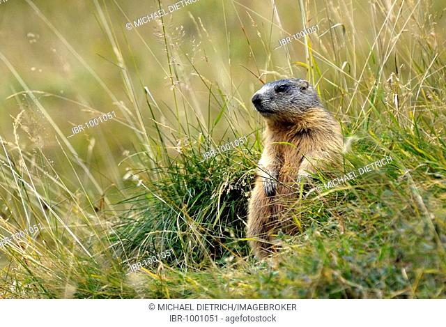 Alpine Marmot (Marmota marmota), Swiss National Park, Oberengadin, Canton of Graubuenden, Switzerland, Europe