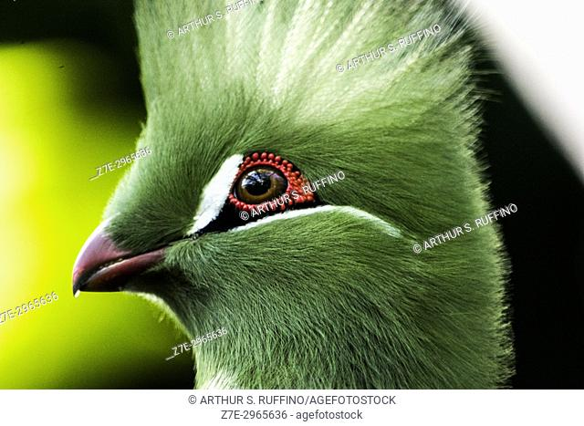 Close-up of a green-crested turaco bird (Musophagidae)