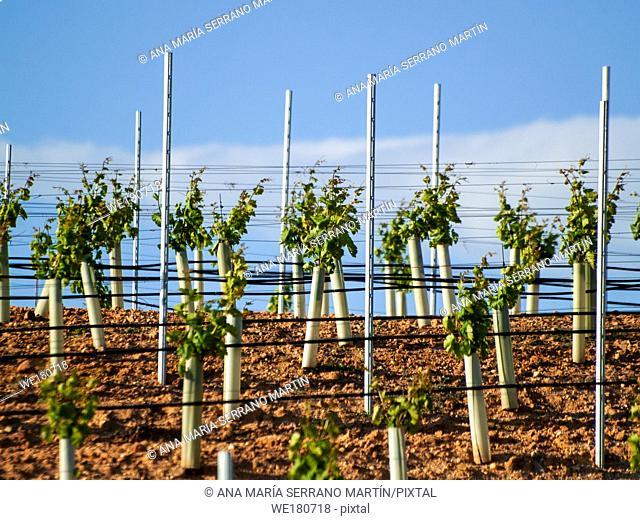 A landscape of rural culture in espalier vineyard in spring in the denomination of origin Ribera del Duero in Spain