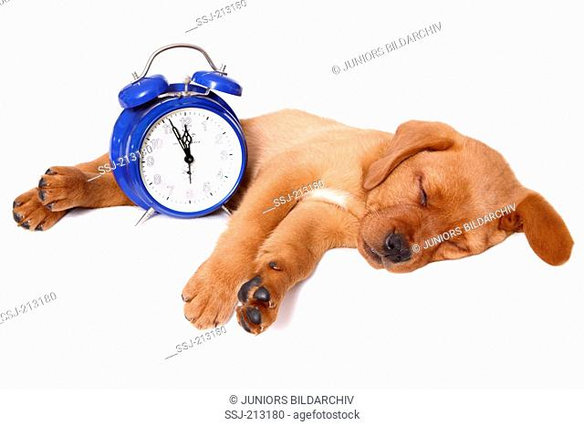 Labrador Retriever. Puppy (8 weeks old) sleeping next to an alarm clock. Studio picture against a white background. Germany