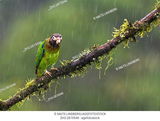 Brown-hooded parrot, Pyrilia haematotis, sitting in a tree in rainfall at Laguna del Lagarto, Boca Tapada, San Carlos, Costa Rica