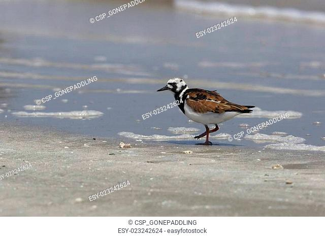 Ruddy Turnstone on a Beach - Bolivar Peninsula, Texas