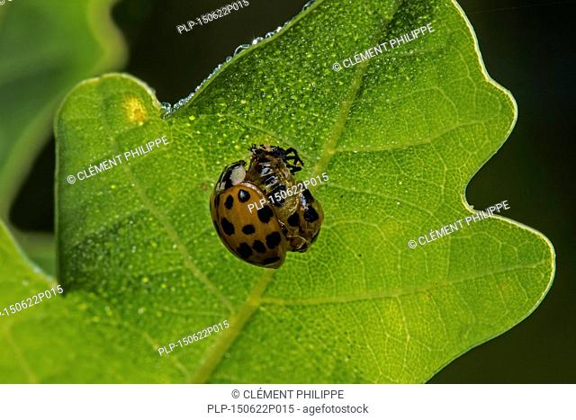 Harlequin ladybird / multicolored Asian lady beetle (Harmonia axyridis) emerged freshly out of its pupa