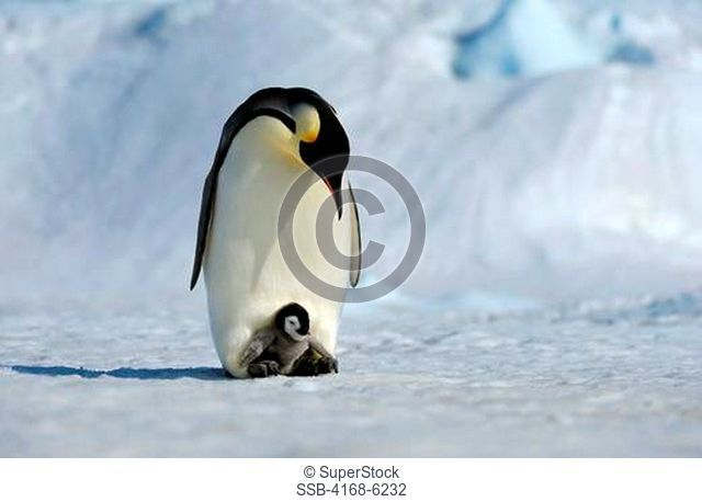 ANTARCTICA, WEDDELL SEA, SNOW HILL ISLAND, EMPEROR PENGUINS Aptenodytes forsteri, ADULT WITH CHICK ON FEET