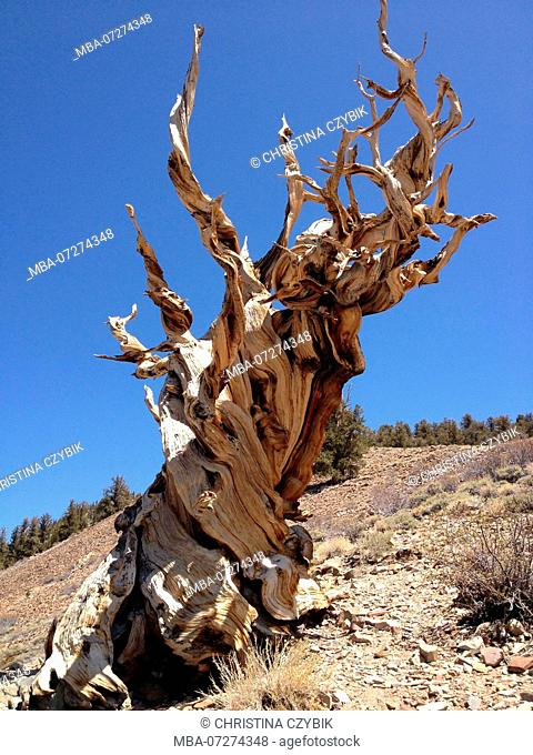 The Ancient Bristlecone Pine Forest is a protected area high in the White Mountains in Inyo County in eastern California