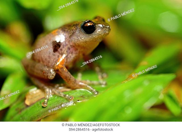 Rhacophorid bushfrog (Raorchestes griet) in Munnar, Idukki province, Kerala, India