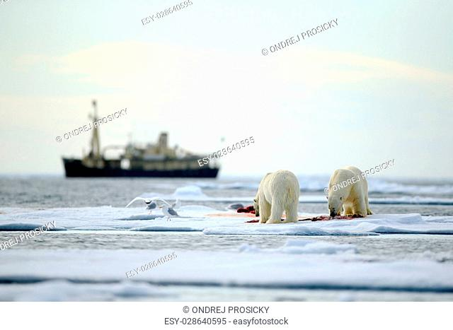 Pair of polar bears with bloody kill seal in water between drift