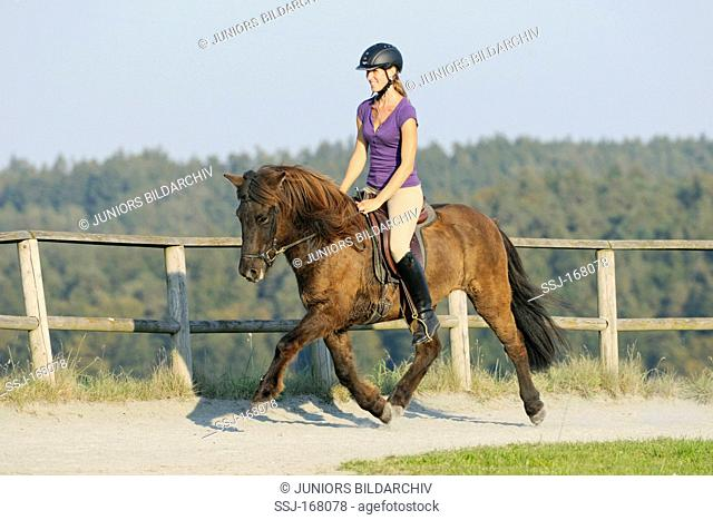 Young rider trotting on an Icelandic horse during October. The horse in winter coat sweats