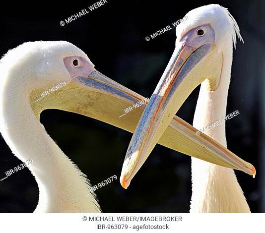 White or Eastern White Pelican (Pelecanus onocrotalus)