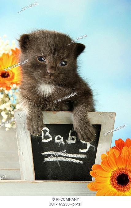 domestic cat - kitten 14 days