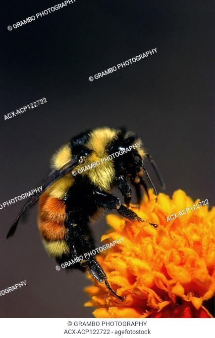 Tricolored Bumble Bee, Bombus ternarius, on marigold, Warman, Saskatchewan, Canada