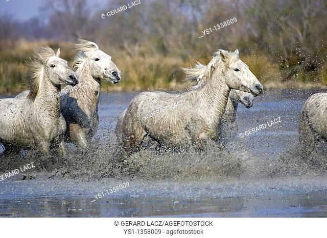 CAMARGUE HORSE, HERD GALLOPING THROUGH SWAMP, SAINTES MARIE DE LA MER IN THE SOUTH OF FRANCE