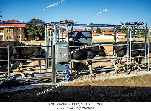 Cows in the Neudamm farm, Namibia