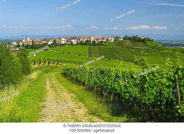France, Haut-Rhin (68), Wine road, Zellenberg, vineyards and village during summer