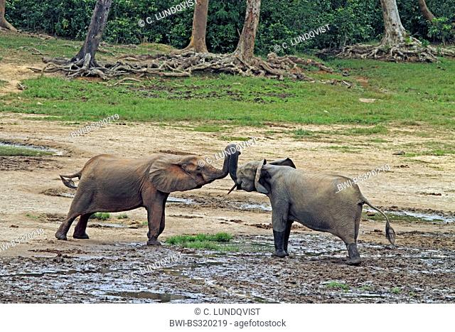 Forest elephant, African elephant (Loxodonta cyclotis, Loxodonta africana cyclotis), two elephants are greeting each other, Central African Republic